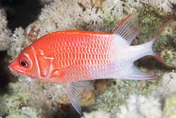 BD-150223-Sharm-6465-Sargocentron-caudimaculatum-(Rüppell.-1838)-[Silverspot-squirrelfish].jpg